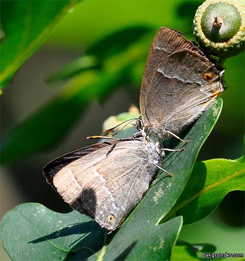 Eksnabbvinge Favonius quercus