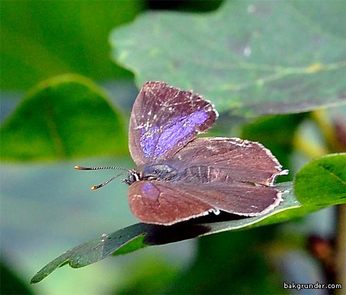 Eksnabbvinge Hona Favonius quercus