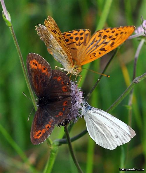 Skogsgräsfjäril - Silverstreckad pärlemorfjäril - Rapsfjäril