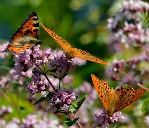 Fjärilar på fäntorpet