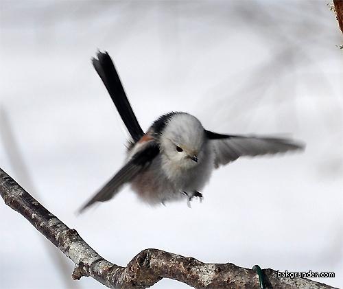 Stjärtmes flyger