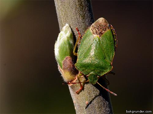 Grön bärfis Palomena prasina