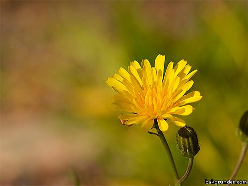 Flockfibbla Hieracium umbellatum