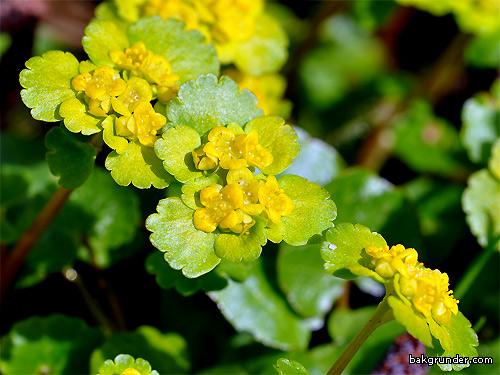 Gullpudra Chrysosplenium alternifolium