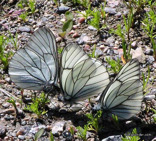 Hagtornsfjäril Aporia crataegi