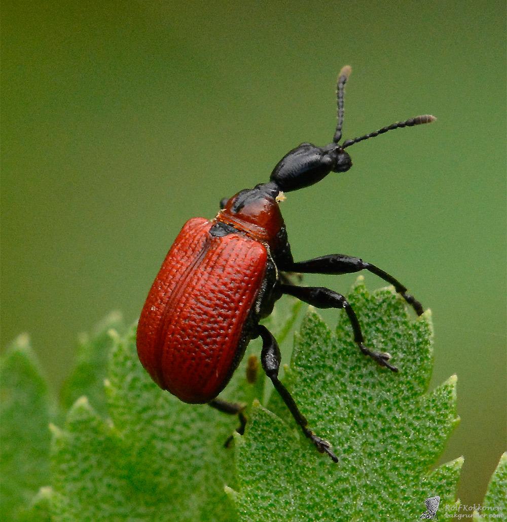 Halsvivel (Apoderus coryli)
