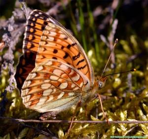Hedpärlemorfjäril Argynnis niobe