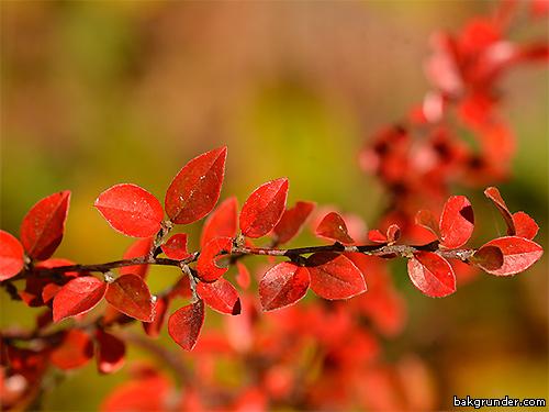 Röda höstfärger