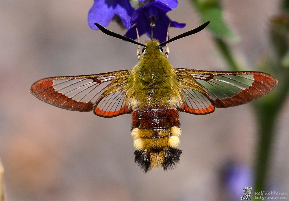 Humledagsvärmare (Hemaris fuciformis)