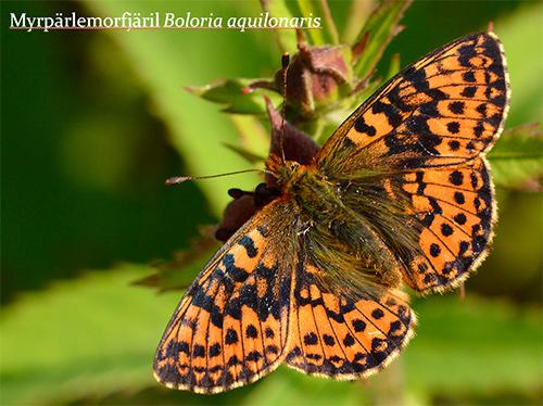 En fjäril som har en kraftfullare mönster på vingarna