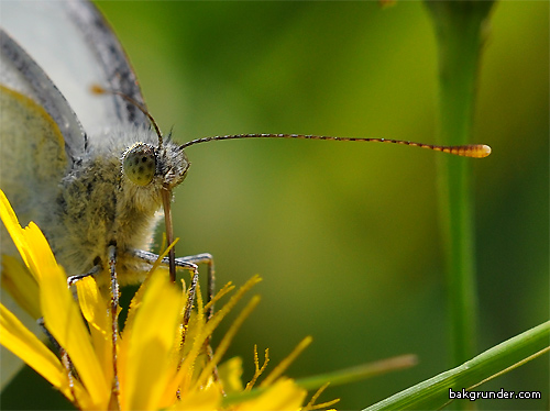 Kålfjäril Pieris brassicae