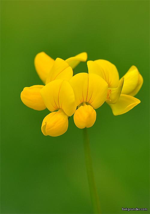 Käringtand Lotus corniculatus L