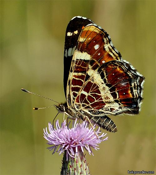 Kartfjäril Araschnia levana (Sommargeneration)