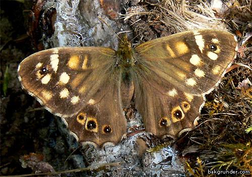 Kvickgräsfjäril Pararge aegeria