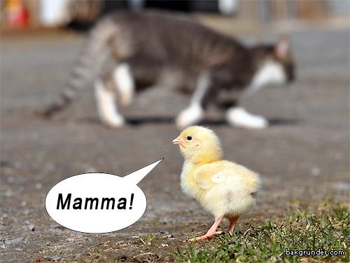 Rolig bild kyckling mamma