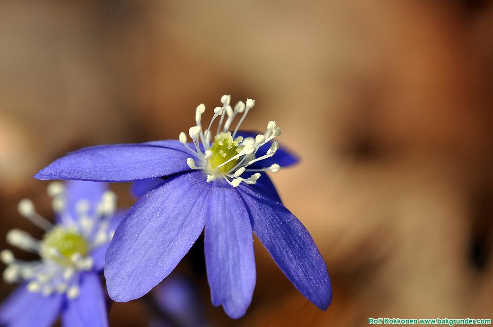Blåsippa (Hepatica nobilis Schreb)