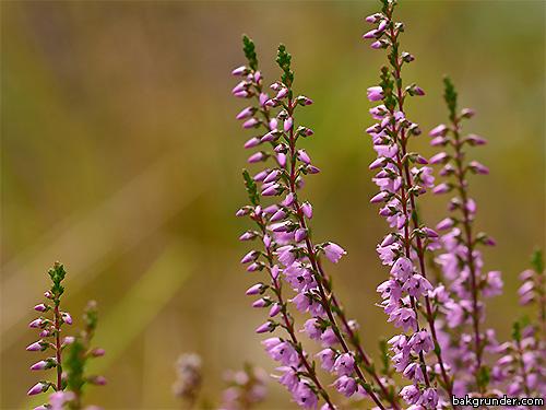 Ljung Calluna vulgaris