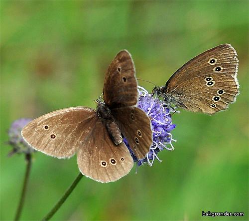 Lukgräsfjäril Aphantopus hyperantus