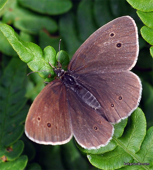 Luktgräsfjäril Aphantopus hyperantus