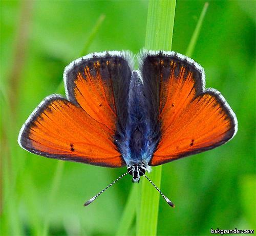 Violettkantad guldvinge Lycaena hippothoe Hane