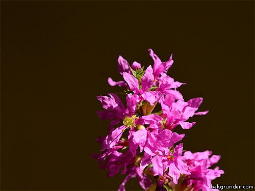 Fackelblomster lythrum salicaria