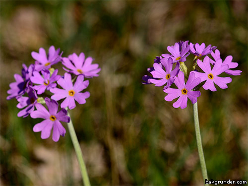 Majviva Primula farinosa
