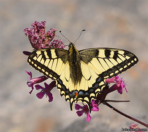 Makaonfjäril Papilio machaon