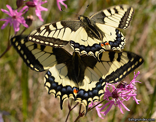 Makaonfjärilar Papilio machaon