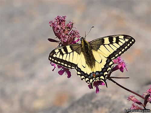 Makaonfjärilen Papilio machaon