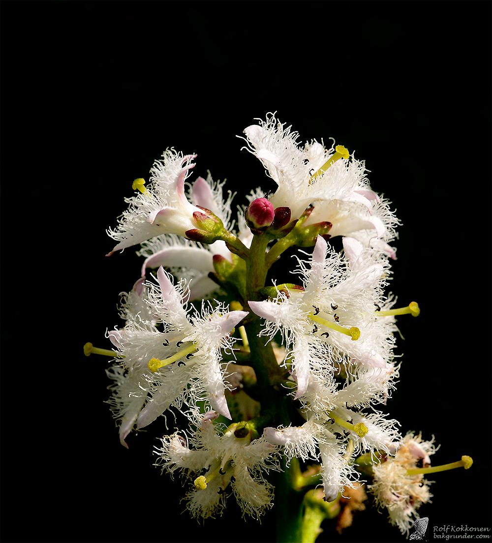 Vattenklöver (Menyanthes trifoliata)