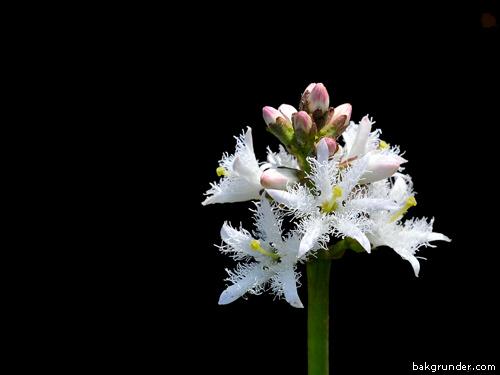 Vattenklöver Menyanthes trifoliata