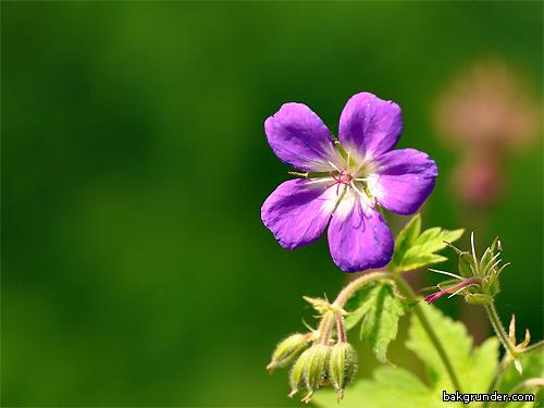 Midsommarblomster  Geranium sylvaticumth