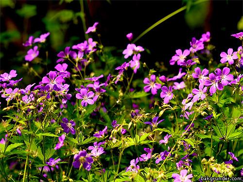 Midsommarblomster  Geranium sylvaticum