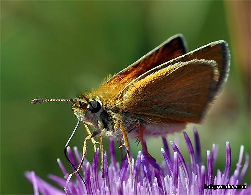 Mindre tåtelsmygare - Thymelicus lineola