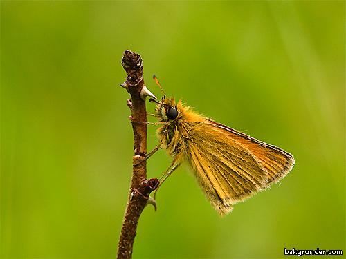Mindre tåtelsmygare Thymelicus lineola
