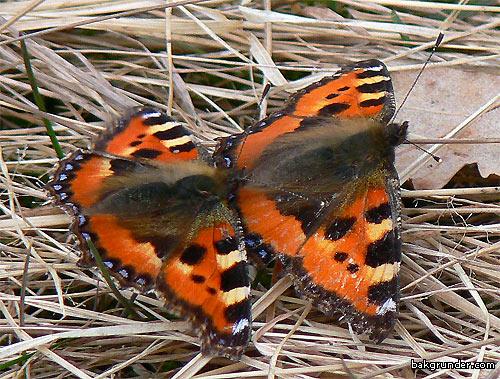 Nässelfjärilar hane och hona