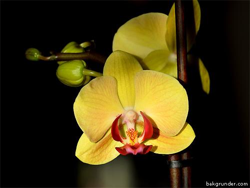 Gul Orkidé