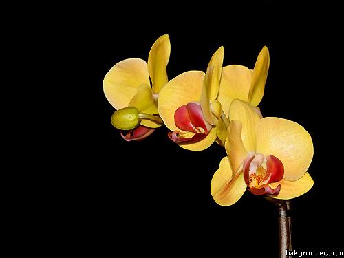 Gula orkidéer