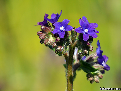 Oxtunga Anchusa officinalis