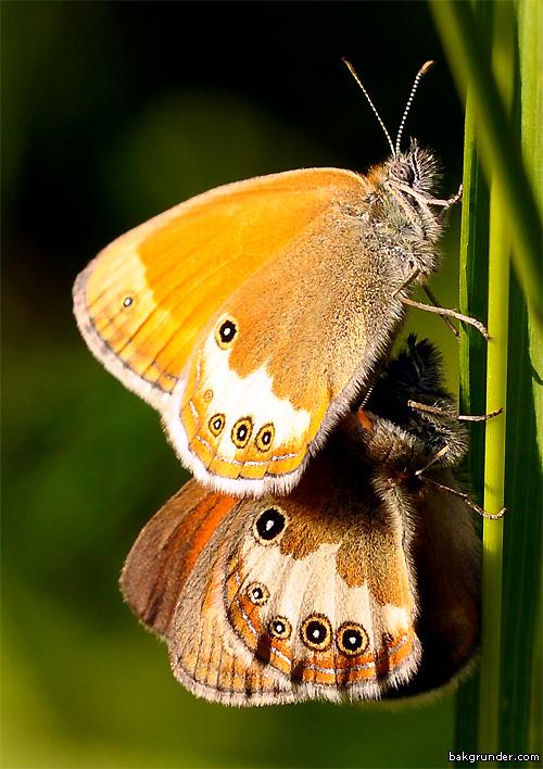 Pärlgräsfjäril Coenonympha arcania