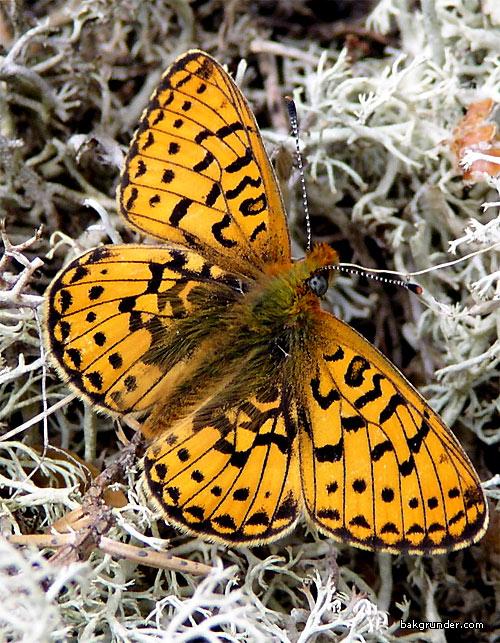 Prydlig pärlemorfjäril Boloria euphrosyne