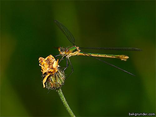 Pudrad smaragdflickslända Lestes sponsa