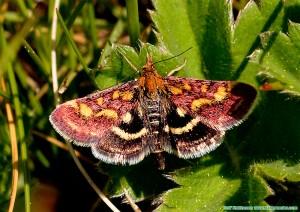 Purpurmott Pyrausta purpuralis
