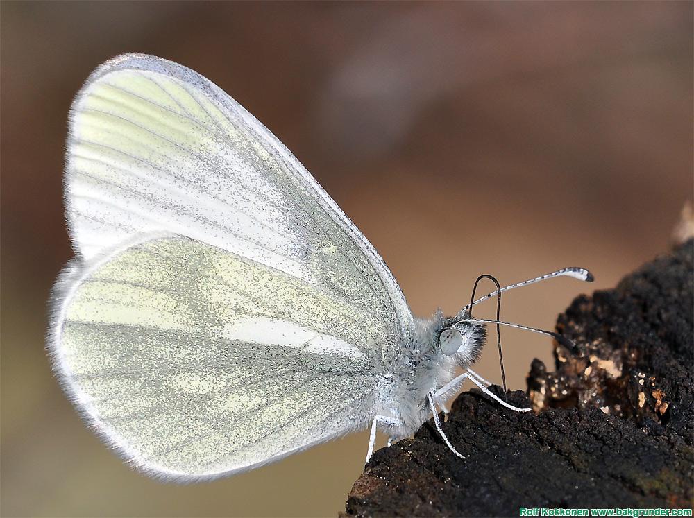 Ängsvitvinge (Leptidea reali)