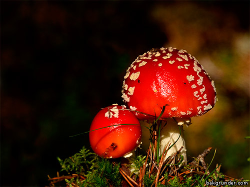 Röd flugsvamp