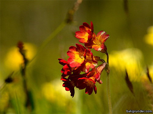 Röd gullviva Primula veris