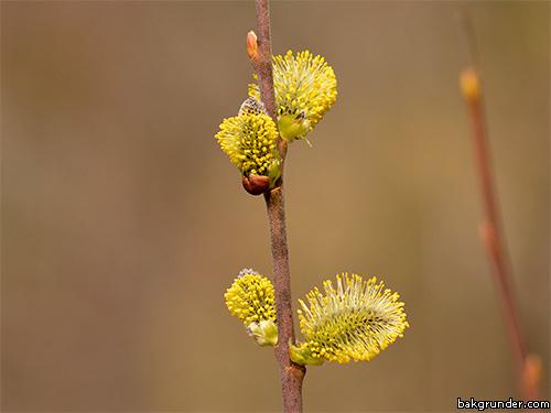 Sälg Vide Salix caprea