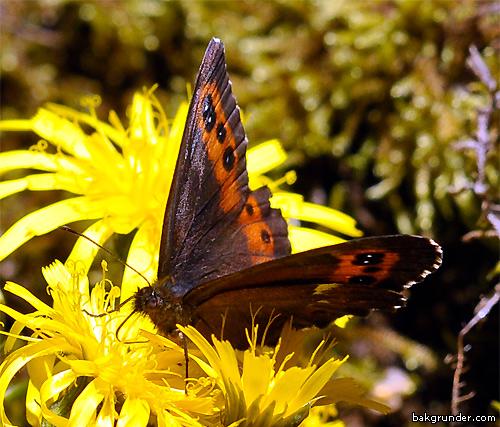 Skogsgräsfjäril   Erebia ligea