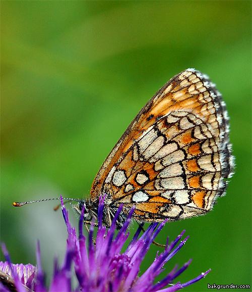 Skogsnätfjäril Melitaea athalia