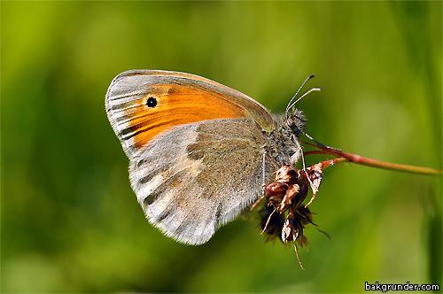 Kamgräsfjäril Coenonympha pamphilus